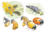 Illustration Coccinella-septempunctata